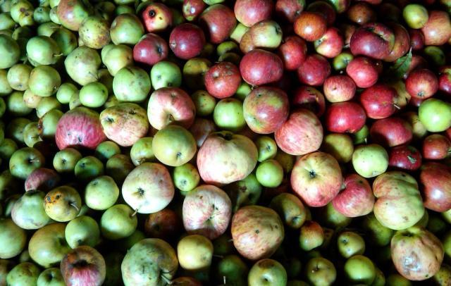 Otoño , las manzanas con Denominación de Origen Protegida son la razón para venir a Asturias y degustar la SIDRA DE ASTURIAS